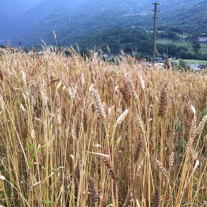 azienda-agricola-grano